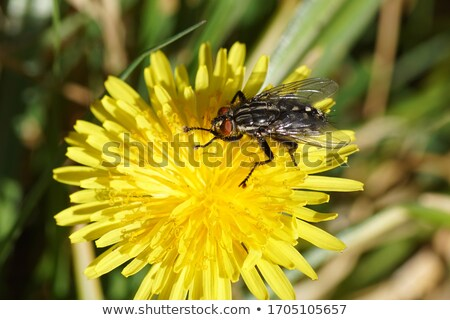 flesh fly on yellow flowers Stock photo © prill