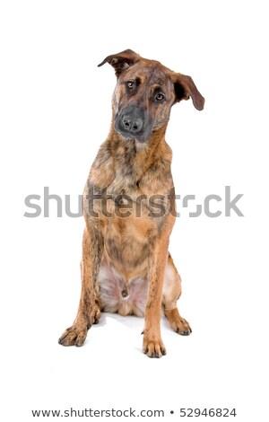 Mixto raza perro holandés pastor Foto stock © eriklam
