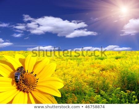 Słonecznika Pszczoła lata scena kwiat roślin Zdjęcia stock © goce