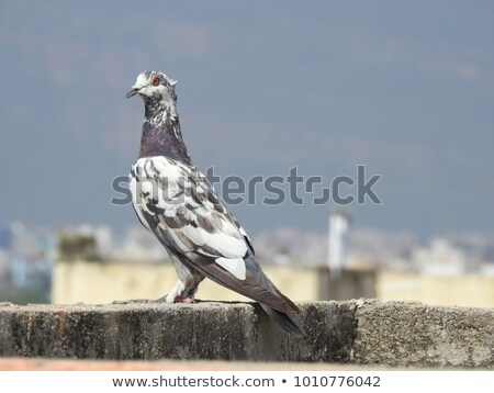 white spotted pigeon Stock photo © taviphoto