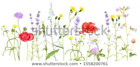 Сток-фото: весны · Полевые · цветы · диких · цветов · трава · разнообразие