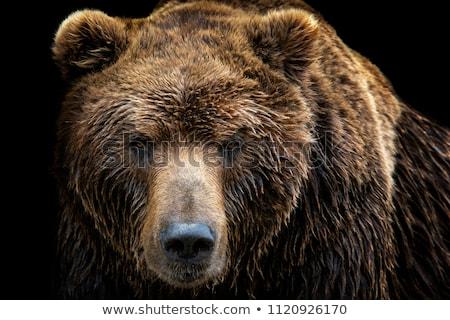 Bruine beer gezicht bruin beren gras Stockfoto © KMWPhotography