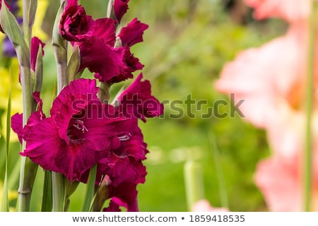 Gladiolus Stock photo © tito