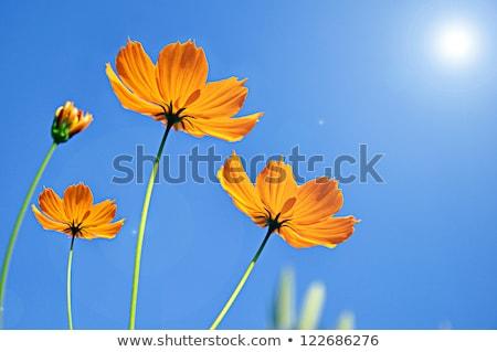 Laranja flor céu abstrato bokeh fundo Foto stock © boroda