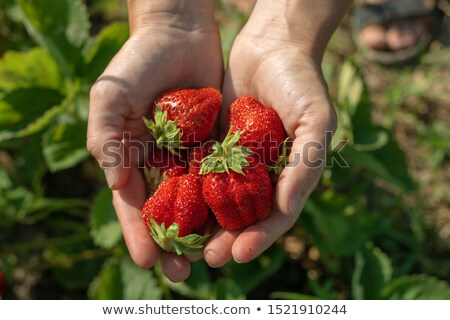 close up of man holding freshly picked strawberries stock photo © highwaystarz