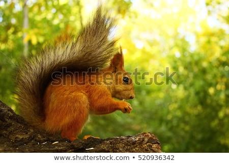 eurasian red squirrel gnaws sunflower seeds stock photo © master1305