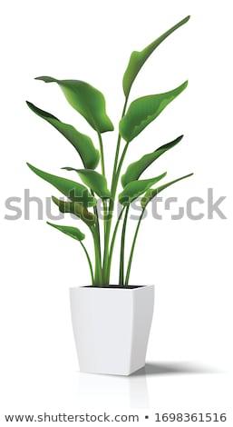 Decorative plants Stock photo © bluering