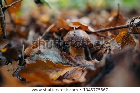 Borowik drewna świeże duży rozwój mech Zdjęcia stock © romvo