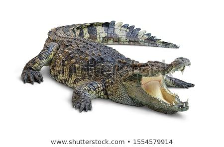 Stock fotó: Aligátor · fej · közelkép · vad · szem · fű