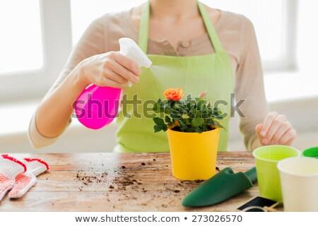 gardener hands holding flower pot with rose Stock photo © dolgachov