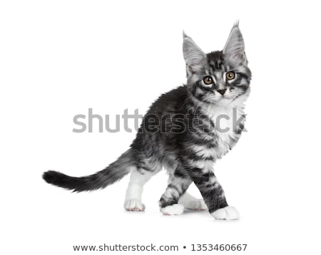 Cute brown tabby with white maine coon kitten standing side ways with front paws on little wooden st stock photo © CatchyImages