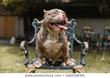 kék · amerikai · kutya · felfelé · néz · ül · lefelé - stock fotó © feedough