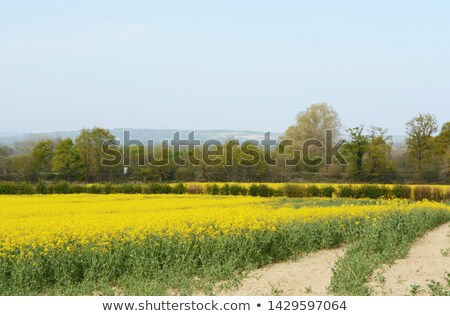 Railway line crosses through a field of yellow oilseed rape Stock photo © sarahdoow