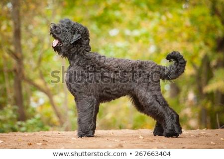 Portrait of an adorable Black Russian Terrier Stock photo © vauvau