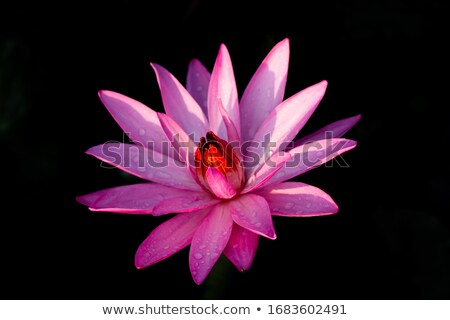 Lilly flowers growing in garden Stock photo © neirfy