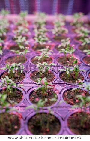 Perspective background of many rows of green seedlings growing in small pots Stock photo © pressmaster