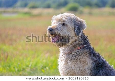 Puppy on soft grassland Stock photo © Ansonstock