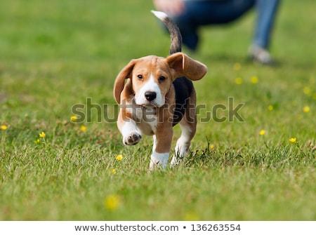 piękna · beagle · psa · dziewczyna · szalik · czerwony - zdjęcia stock © godfer