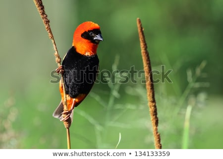 Black-winged Red Bishop Stock photo © suerob