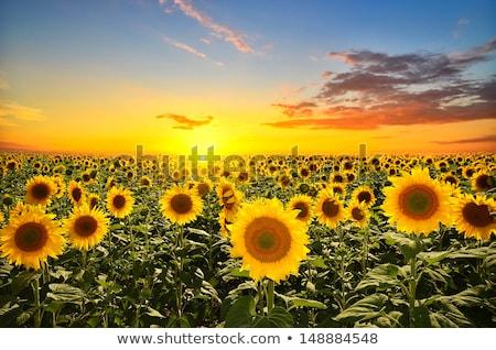 フィールド 太陽 花 日 庭園 ストックフォト © Arrxxx