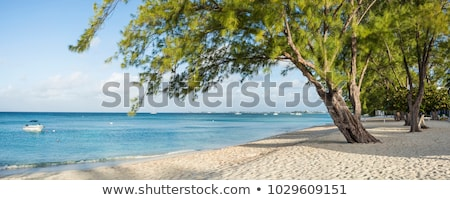 Seven Mile Beach Casuarina Trees Stock photo © mosnell