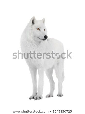 Арктика · белый · волка · лице · лес - Сток-фото © michelloiselle
