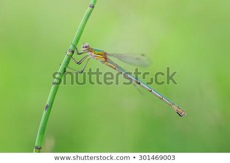 エメラルド · 草 · 幹 · 美しい · 昆虫 · 翼 - ストックフォト © chris2766
