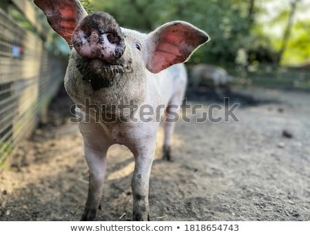 pig in the mud Stock photo © nik187