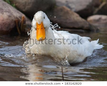 Kahverengi beyaz ördek turuncu gaga doğa Stok fotoğraf © billperry