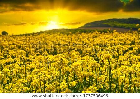 Yellow canola flowers against the setting sun Stock photo © avdveen