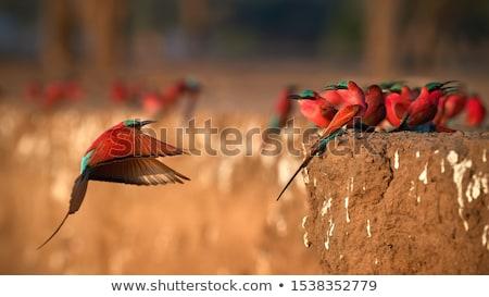 Carmine Bee-eaters (Merops nubicoides) Stock photo © dirkr