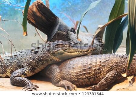 Pequeño cocodrilo la boca abierta verde boca río Foto stock © bradleyvdw