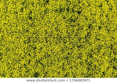 ストックフォト: 黄色 · フィールド · 春 · 美しい · 水