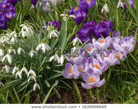 krokus · veld · paars · bloemen · bos · boom - stockfoto © smuki