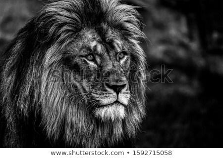 Stock fotó: Fehér · férfi · oroszlán · portré · afrikai · fej