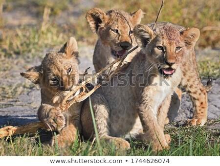 Játszik bot oroszlán medvebocs oldal fivér Stock fotó © ottoduplessis