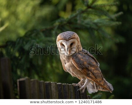 barn owl in tree stock photo © frameangel