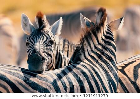Mother and Baby Zebra in the Wilds Stock photo © wildnerdpix