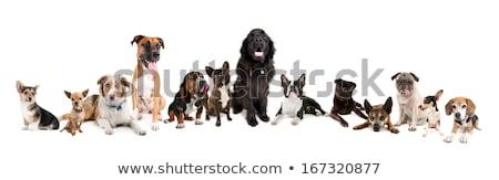 homem · grande · grupo · bigle · filhotes · de · cachorro · branco - foto stock © master1305