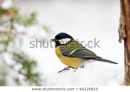 Great Tit in Snow with Foliage Stock photo © rekemp