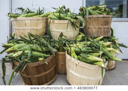 Freshly picked ear of maize, sweet corn cob Stock photo © stevanovicigor