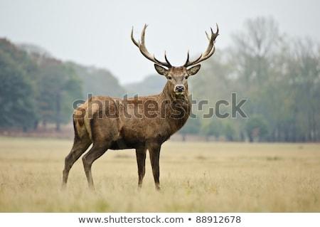 Red deer doe portrait Stock photo © photosebia