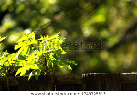 vintage wooden fence with blurry plants stock photo © viperfzk