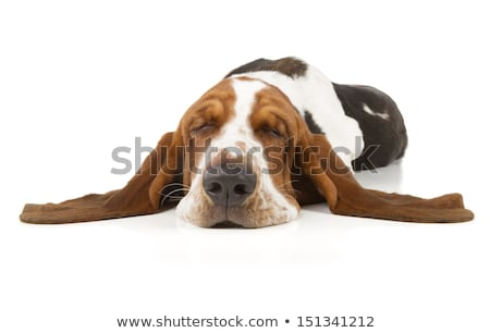 basset hound dog sleeping stock photo © silense