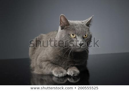синий кошки темно студию счастливым животного Сток-фото © vauvau