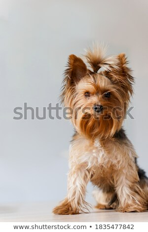 cute yorkshire terrier sitting in a white photo studio Stock photo © vauvau