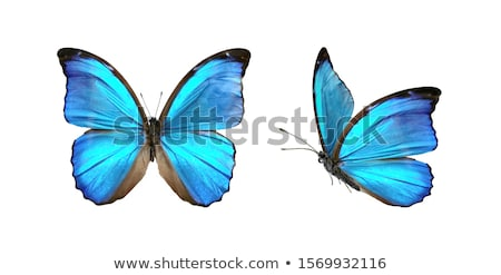 set of black butterflies morpho stock photo © blackmoon979