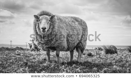 Blanco ovejas granja ilustración paisaje jardín Foto stock © bluering