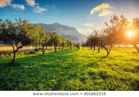 фантастический оливками саду Blue Sky Средиземное море климат Сток-фото © Leonidtit