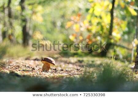 boletus badius growth in sunny wood Stock photo © romvo